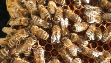 Bienen auf einer Honigwabe.